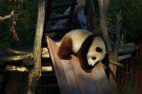 Pandajong_KJ-