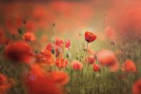 1 Bart Ceuppens - Poppy heaven